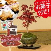 小品盆栽:出猩々もみじ(信楽焼鉢)もみじの天ぷらセット*【送料無料】【楽ギフ_包装】