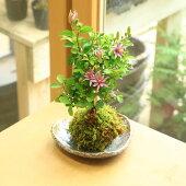 苔玉:睡蓮木(すいれんぼく)