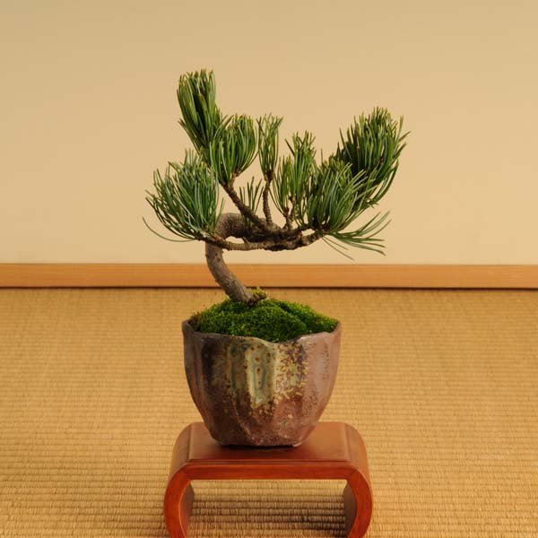 【送料無料】ミニ盆栽:五葉松(瀬戸焼小鉢)*【ぼんさい ボンサイ】【あす楽対応】