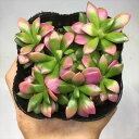 多肉植物:アナカンプセロス 桜吹雪*幅9cm