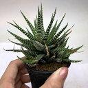 多肉植物:ハオルチア 十二の巻 M*幅10cm