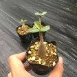 多肉植物:コーデックス・アデニウム(砂漠のバラ) オベスム×アラビカム*幹幅1.5cm