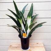 観葉植物:オモト/万年青*おもと 品種選べます 5.5号(受け皿付き)