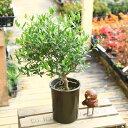 観葉植物:オリーブの木 玉つくり*Cipressino SOUJU(創樹)