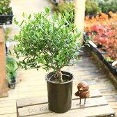 観葉植物:オリーブの木 (5号)*【SOUJU(創樹)】
