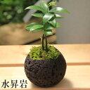 【観葉植物】梛/ナギ 小鉢植え(苔付き) *【鉢を選べます】