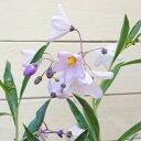 可憐な花姿がかわいらしい♪花苗:リュウキュウヤナギ*(琉球柳)/ルリヤナギ【2個セット】