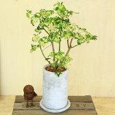 観葉植物:シェフレラ ジャネイ*ロゼッタトール 受け皿付 バークチップ
