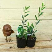 苗:オリーブの木*2個セット