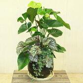 観葉植物 鉢花:アンスリュウム寄せ植え*アンティーク陶器鉢 受皿付