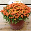 オレンジ色の実がかわいらしい♪鉢花:コケサンゴ(苔珊瑚)*こけさんご
