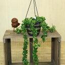 """葉がよじれるように見える奇妙な植物♪多肉植物:ホヤカルノーサ """"コンパクタ""""*【吊り】"""