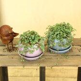 観葉植物:ピレア グラウカ*ベネッシスキュー陶器鉢(受け皿付)