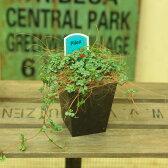 観葉植物:ピレア グラウカ*エコポット 飾りシュロ皮