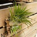 観葉植物 チランジア:イオナンタ ギガンテ コルク仕立て*エアープランツ