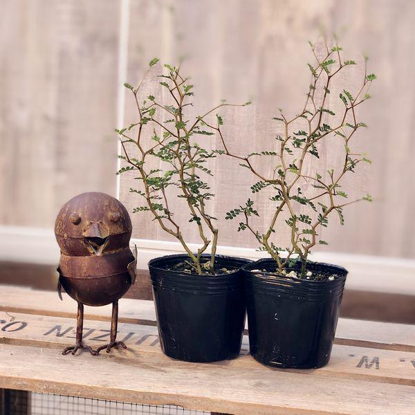 観葉植物 盆栽風にも洋風鉢にも合います:ソフォラ (メルヘンの木)*2個セット
