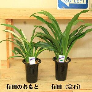 観葉植物:オモト・4号*万年青 おもと(受皿付き)