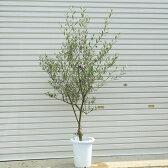 観葉植物 庭木 シンボルツリー:SOUJU(創樹)オリーブの木 8号*品種選べます 【大型ヤマト便配送】