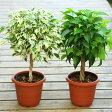観葉植物:ねじりベンジャミン ベンジャミナ*葉色選べます プラポット