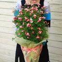 """【母の日 ギフト】【送料無料】:鉢花ミニバラ """"みさき""""*ラッピング付き"""