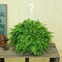 観葉植物:ネフロレピス(タマシダ) ボストンファーン*吊り鉢