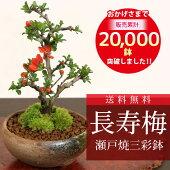 ミニ盆栽:長寿梅(瀬戸焼白釉鉢)*【送料無料】瀬戸焼三彩鉢