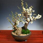盆栽:白梅2本寄せ*(信楽焼鉢)
