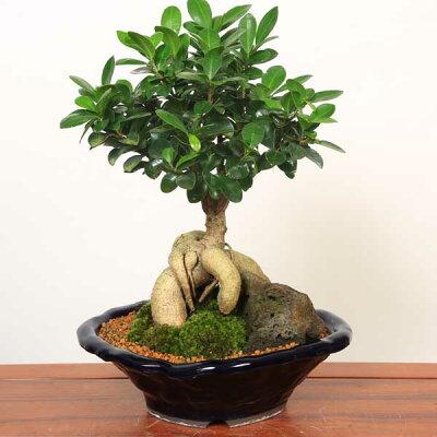 【敬老の日 ギフト】【即日出荷可!】【送料無料】がじゅまる盆栽: 特選ガジュマル(多幸の樹)*【苔・石付き】【青軸変形鉢】bonsai