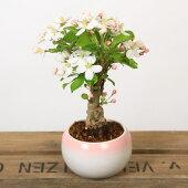 小品盆栽:姫りんご*