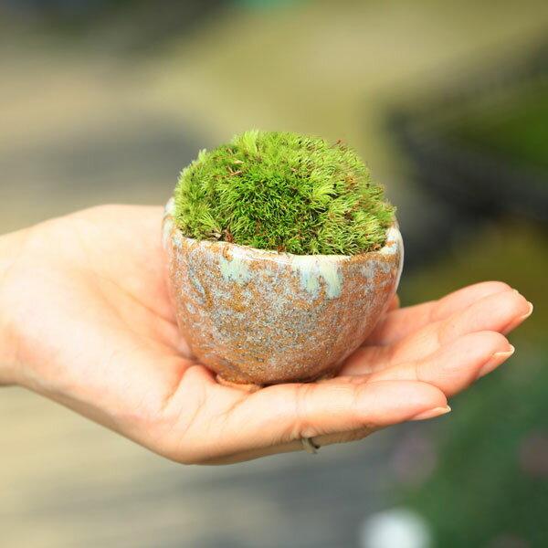 【あす楽ギフト】【即日出荷可!】苔盆栽:長寿苔鉢*長寿亀受け皿付【送料無料】