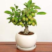 小品盆栽:姫りんごちゃん*(モダン白丸鉢受け皿付)