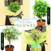父の日ギフト観葉植物:ねじりベンジャミンベンジャミナ*ラッピング付き