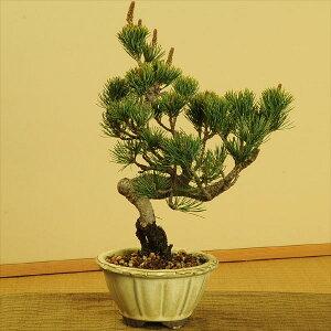 常緑なので、一年を通じて贈り物にオススメ!職人が丹精込めて植え込んでます!!【盆栽 ぼん...