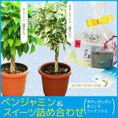 観葉植物:ねじりベンジャミンぜんざいセット*葉色選べます。