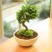 小品盆栽:黄金けやき(信楽焼小鉢)【送料無料】