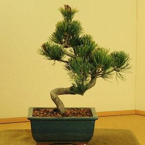 盆栽の王道・マツ!常緑なので、一年を通じて贈り物にオススメ!!【フラワーギフト 誕生日 お...