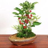 盆栽:姫りんご寄せA(信楽焼鉢)【送料無料】