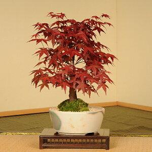 【落葉しました】春の新芽が真っ赤で美しい品種です!盆栽:出猩々もみじ(瀬戸焼小鉢)*【送料無...