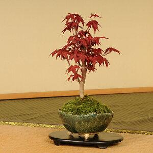 【落葉しました】春の新芽が真っ赤で美しい品種です!小品盆栽:出猩々もみじ(信楽焼鉢)*【送料...