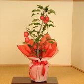 盆栽(送料無料):長寿りんご