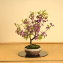【あす楽 秋ギフト】中品盆栽:紫式部(信楽焼鉢)*【送料無料】