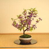 中品盆栽(送料無料):紫式部(信楽焼鉢)