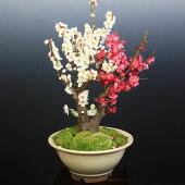 盆栽:紅白梅C(瀬戸焼鉢)