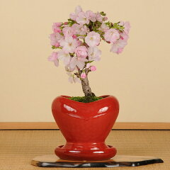 モダン盆栽:一才桜(ハート型鉢・受け皿付)*【送料無料】【あす楽対応】【桜盆栽】【さくら盆栽】