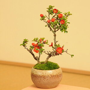 花付最良!新春と秋に真っ赤な花が咲きます!盆栽専門店がお届け!!小品盆栽:長寿梅(瀬戸焼...