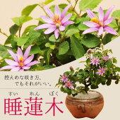 小品盆栽:睡蓮木(信楽焼小鉢)【送料無料】