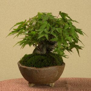 【落葉しました】春の新芽がとても鮮やかグリーン!!ミニ盆栽:山もみじ(信楽焼鉢)*【送料無料】
