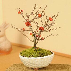 盆栽専門店がお届け!新春や秋に真っ赤な花が咲く四季咲き性!!【フラワーギフト 誕生日 お花 ...