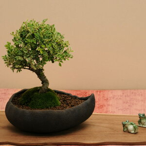 小品盆栽:黄金けやき(信楽焼小鉢)*【送料無料】