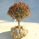 送料無料 庭木・植木:庭木・植木苗:ドウダンツツジ(玉造り)* 玉幅:約40cm